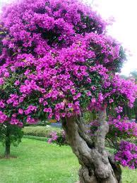 Hoa giấy bốn mùa