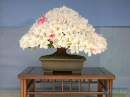 Thông tùng cổ đẹp nhiều hoa